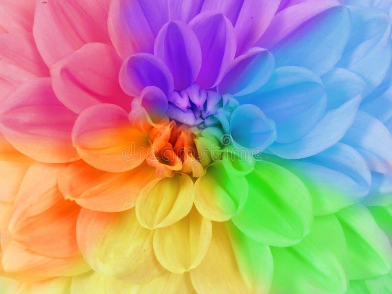 Feche acima do quadro completo de uma flor do crisântemo em cores diferentes imagem de stock