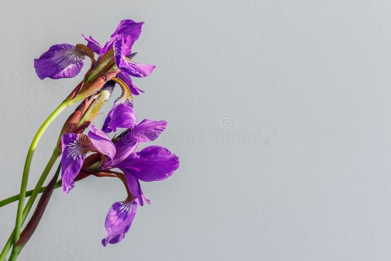 Feche acima do ramalhete roxo das flores das íris que mostra o detalhe a da pétala imagem de stock royalty free