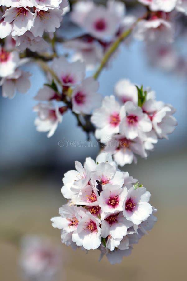 Feche acima do ramo com as flores cor-de-rosa brancas e escuras da flor da amêndoa na árvore alemão de Dulcis do Prunus na mola foto de stock royalty free