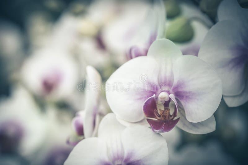 Feche acima do ramo da orquídea no tempo de mola, no foco macio e no vintag foto de stock