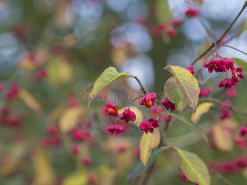 Feche acima do ramo de florescência alaranjado vermelho do arbusto em ligh defocused do bokeh fotografia de stock