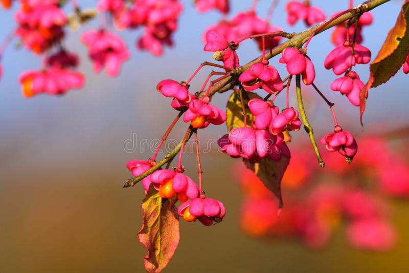 Feche acima do ramo e das flores cor-de-rosa de um europaeus do Euonymus da árvore de eixo contra o céu azul borrado imagens de stock