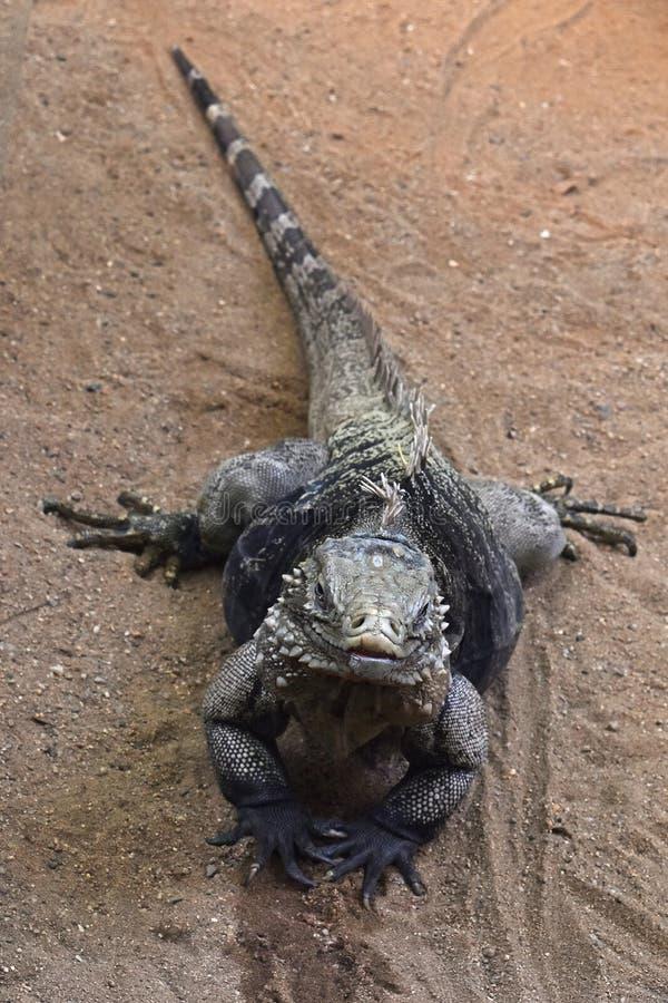 Feche acima do retrato completo do comprimento da iguana azul fotos de stock