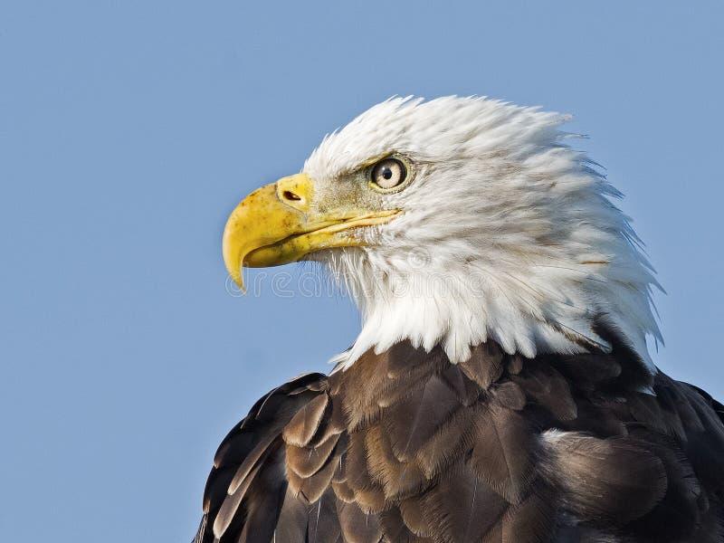 Feche acima do retrato da águia americana fotos de stock