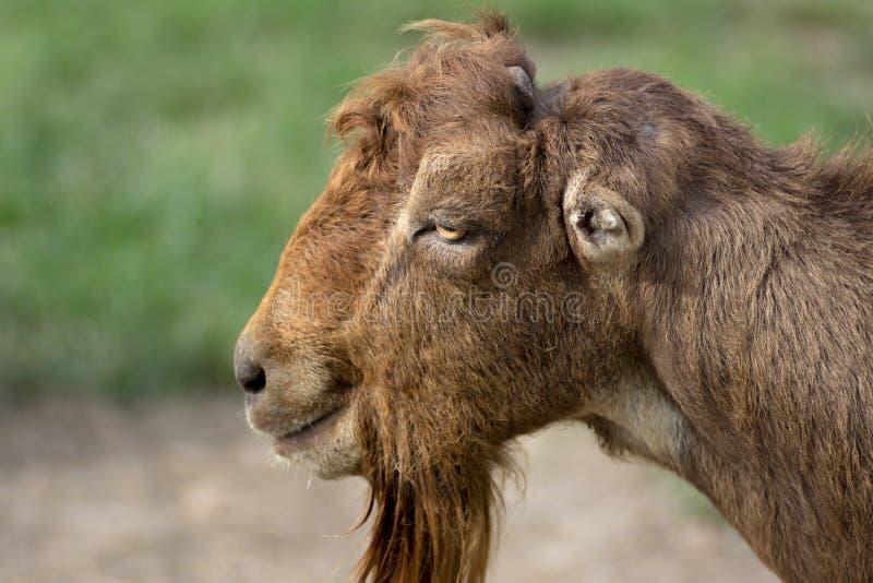 Feche acima do retrato da cabra farpada de LaMancha imagens de stock royalty free