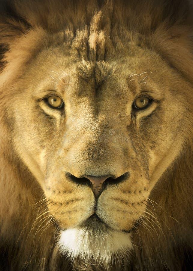 Feche acima do retrato de Lion King majestoso do animal imagem de stock royalty free
