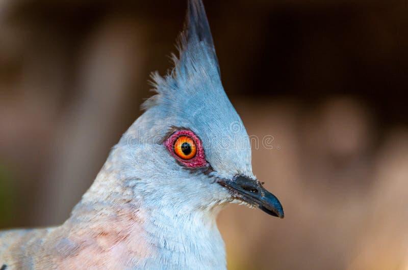 Feche acima do retrato de pássaro com crista do pombo imagem de stock royalty free