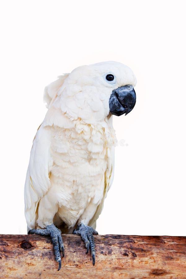Feche acima do retrato de pássaros da cacatua, cacatua de Molucano ou de Seram fotos de stock