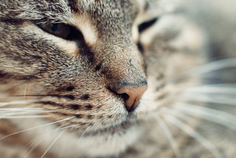 Feche acima do retrato de Tabby Cat bonita imagens de stock royalty free