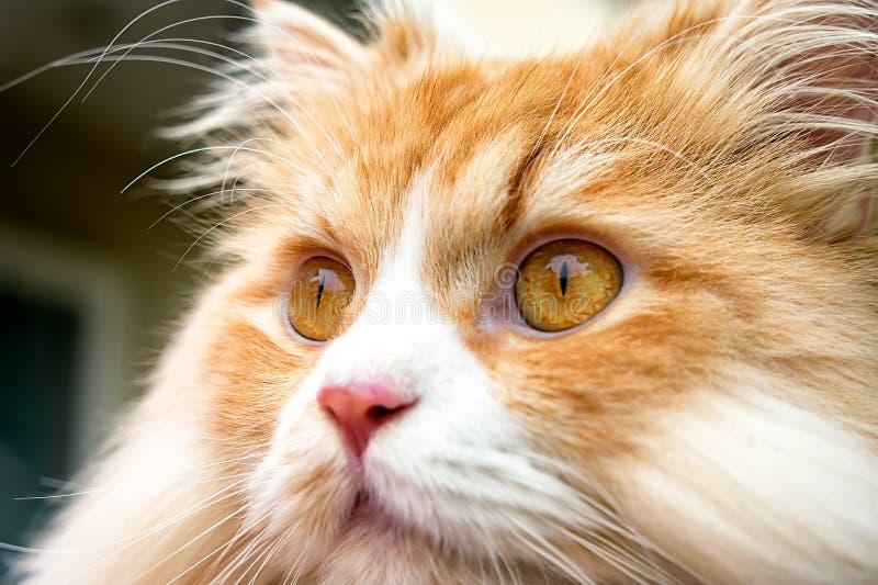 Feche acima do retrato de Tabby Colored Persian Cat Outdoor alaranjada foto de stock