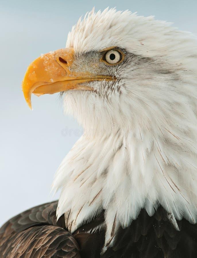 Feche acima do retrato de uma águia calva imagens de stock
