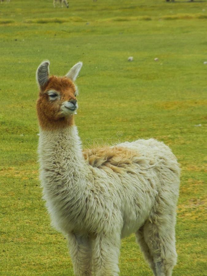 Feche acima do retrato de uma alpaca em Bolívia imagem de stock