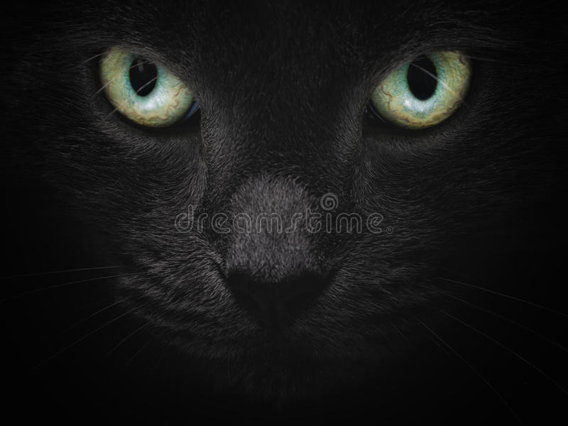 Feche acima do retrato do gato britânico sério do shorhair foto de stock