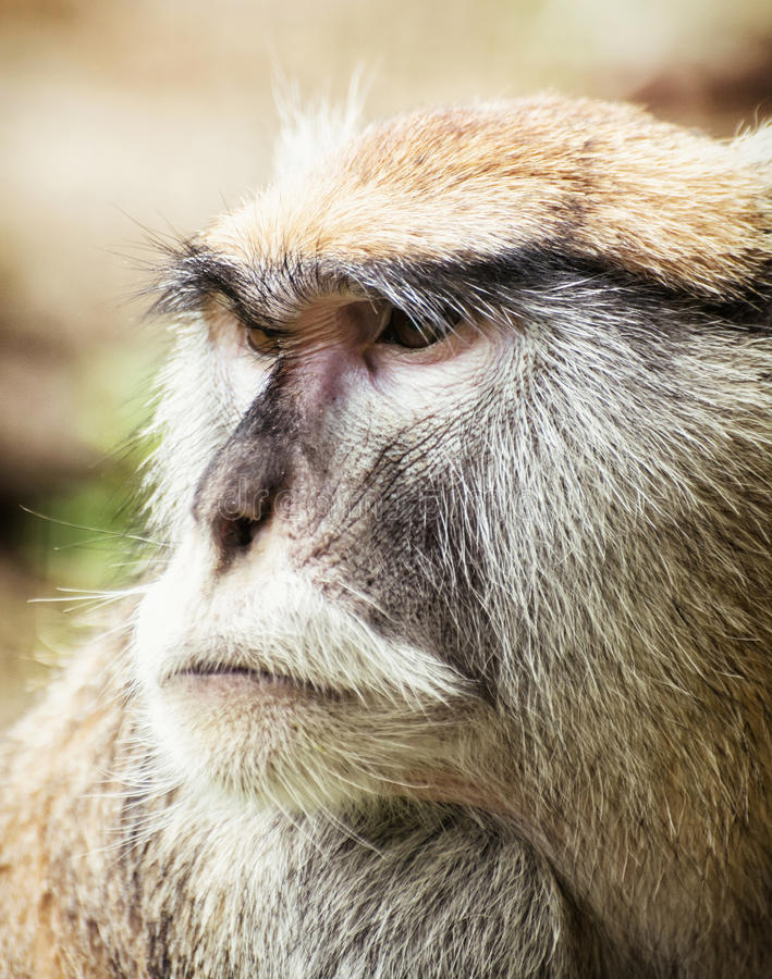 Feche acima do retrato do macaco de Patas (os patas do Erythrocebus) fotos de stock