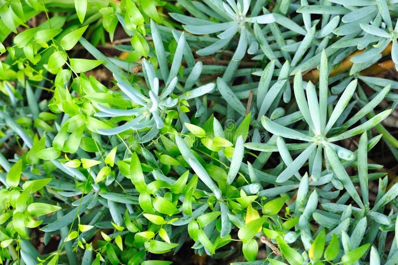 Feche acima do succulent (Sedum) e do creeper fotos de stock