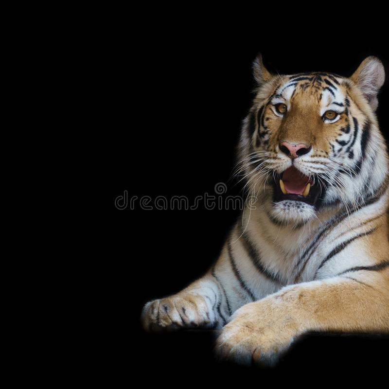 Feche acima do tigre da cara isolado no fundo preto fotografia de stock royalty free