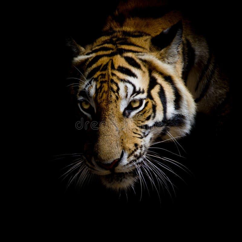 Feche acima do tigre da cara isolado no fundo preto imagem de stock