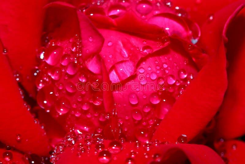 Feche acima do tiro da flor de Rosa foto de stock royalty free