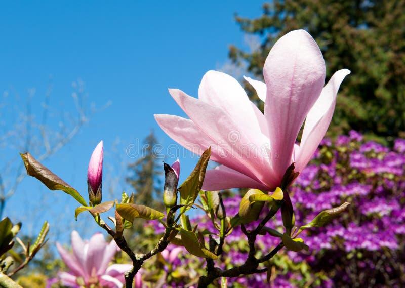 Feche acima do tiro de uma flor da magnólia fotografia de stock