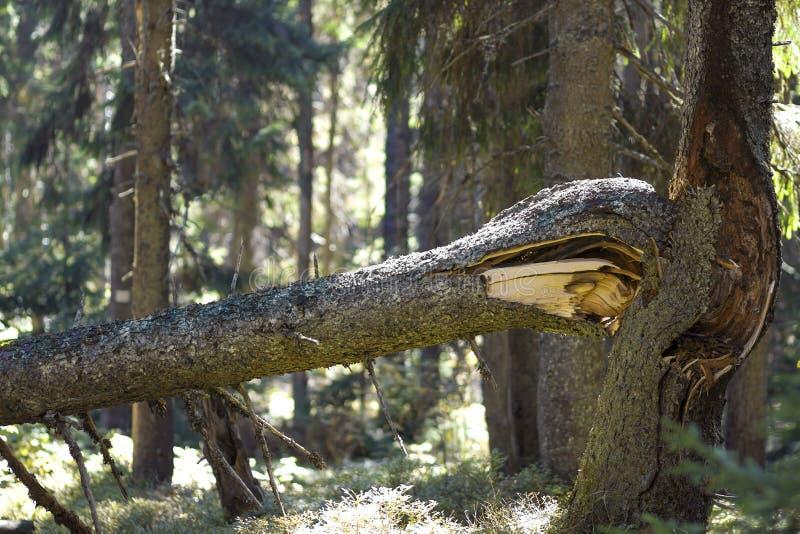 Feche acima do tronco de pinheiro poderoso quebrado velho ou ramifique na floresta sempre-verde da montanha após a tempestade ven fotos de stock