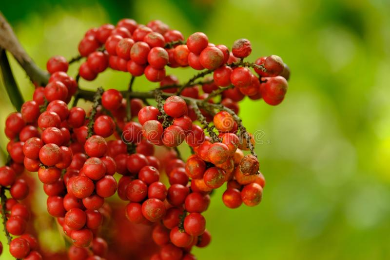 Feche acima do vermelho amadurecem o fruto da palma do batom ou da palma da selagem-cera ou imagens de stock