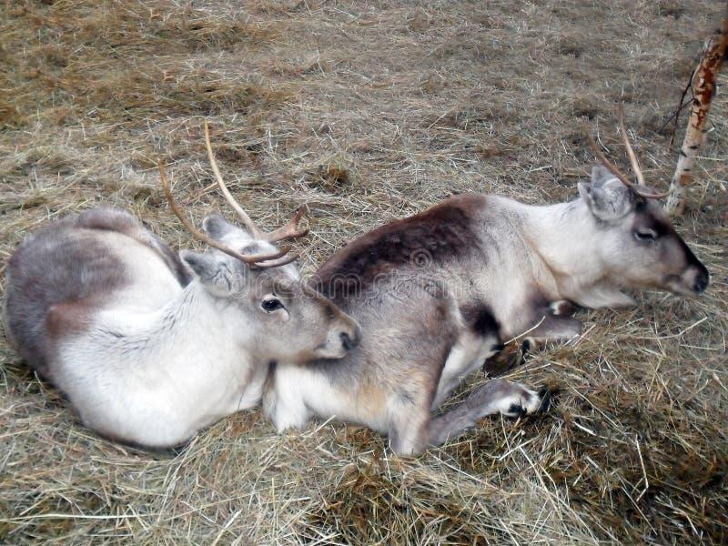Feche acima dos cervos vermelhos que sentam-se na grama que ruje durante o cio no outono foto de stock royalty free