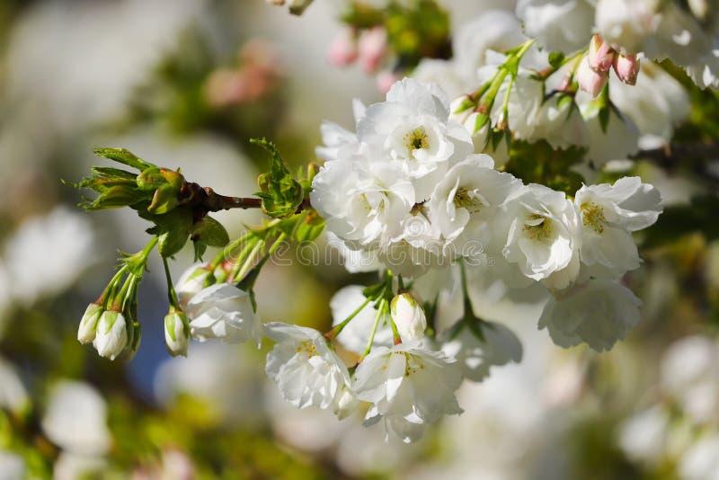 Feche acima dos detalhes de flor de cerejeira foto de stock royalty free