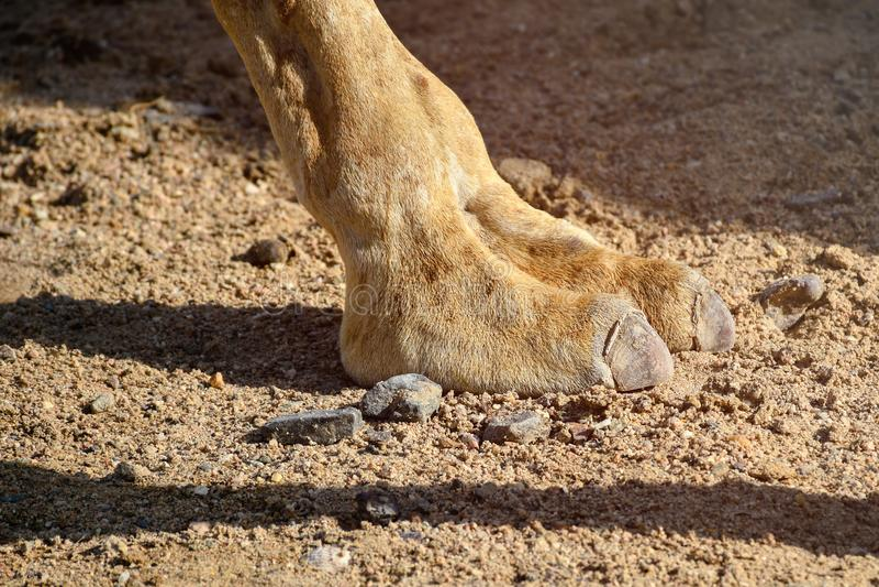 Feche acima dos dois pés do camelo do dedo que andam no deserto quente imagem de stock