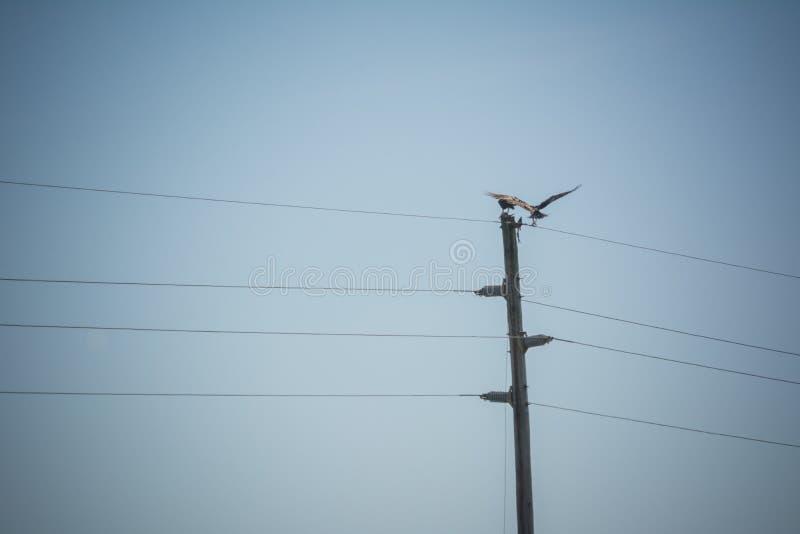 Feche acima dos falcões que comem um peixe na parte superior da eletricidade Polo imagem de stock