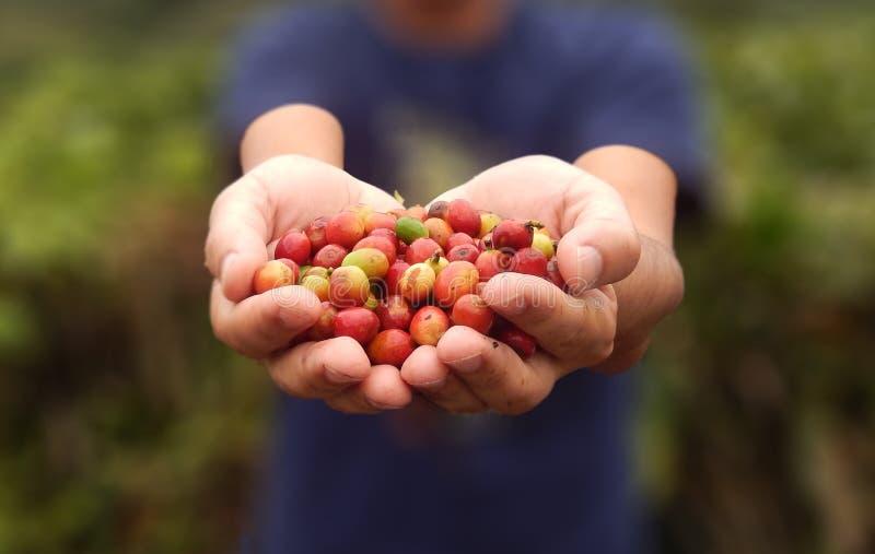 Feche acima dos feijões de café vermelhos das bagas na mão do agricultor fotos de stock royalty free