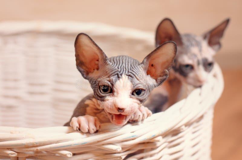 Feche acima dos gatinhos de Sphynx dentro de uma cesta de madeira foto de stock royalty free