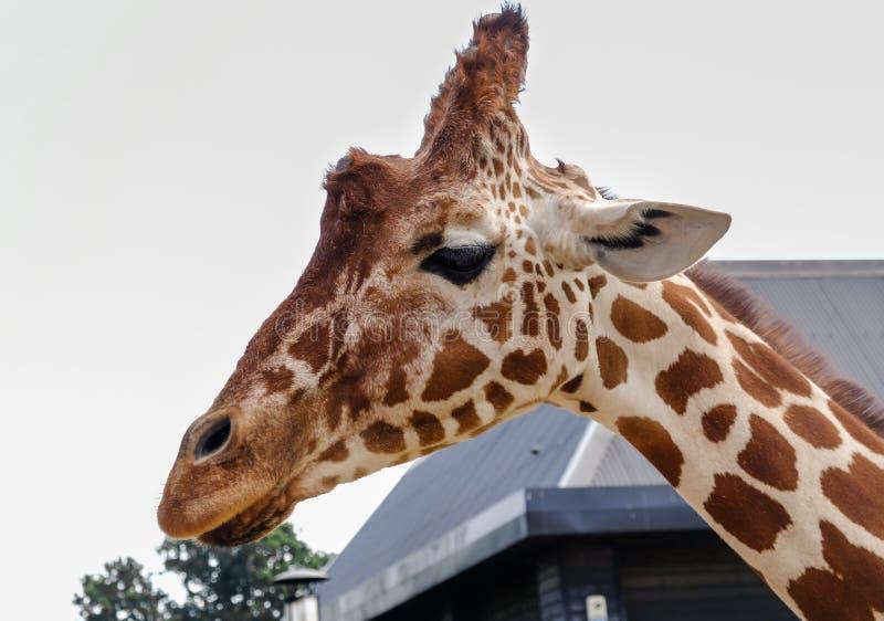 Feche acima dos girafas dirigem e pesco?o imagem de stock royalty free