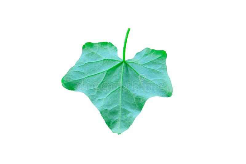 Feche acima dos grandis verdes vegetais do Coccinia da textura da superfície da cabaça da hera isolados no trajeto branco do fund imagem de stock