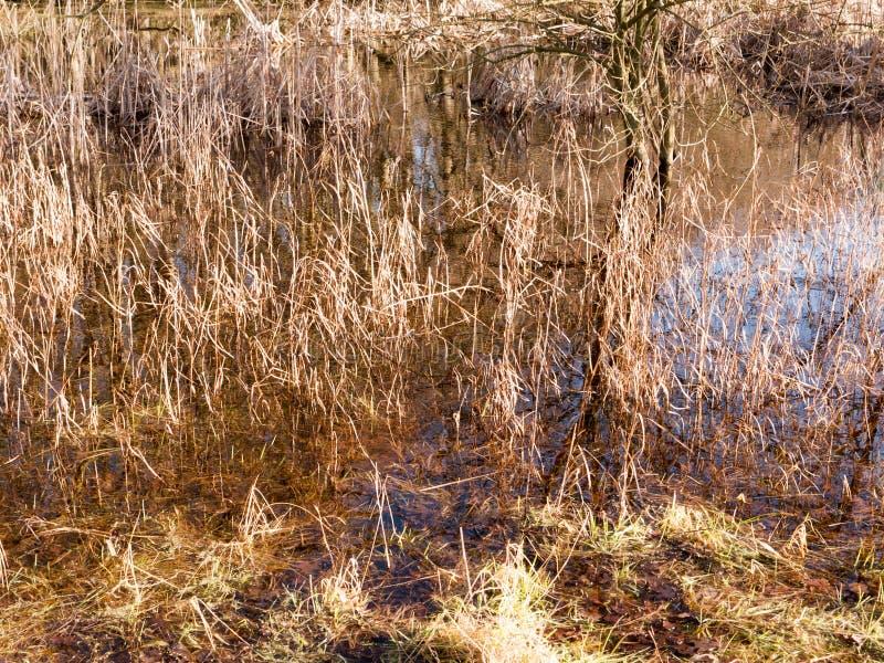 feche acima dos juncos dourados da grama que crescem na associação de água foto de stock