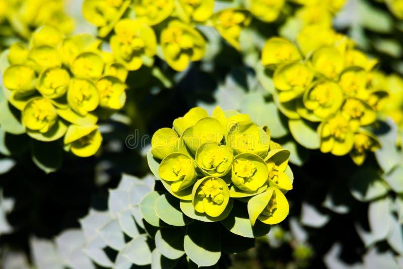 Feche acima dos myrsinites de florescência amarelos do eufórbio do spurge da murta na mola foto de stock royalty free