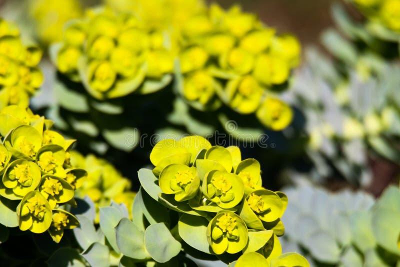 Feche acima dos myrsinites de florescência amarelos do eufórbio do spurge da murta na mola fotos de stock royalty free