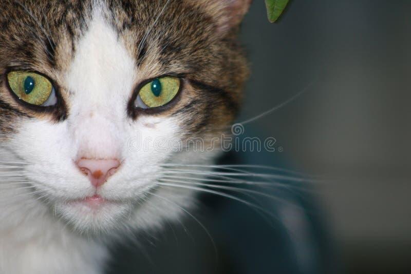 Feche acima dos olhos verdes de Grey Gray White Cat Face Intense imagens de stock royalty free