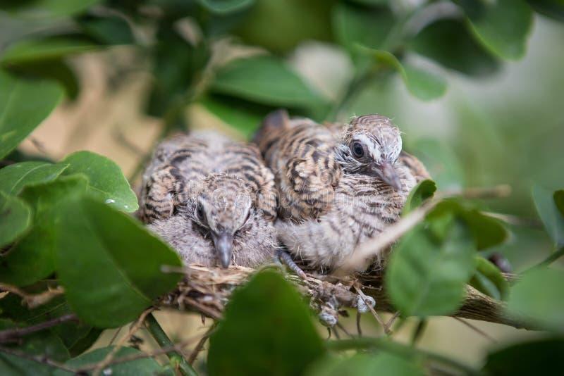 Feche acima dos pássaros de bebê imagem de stock royalty free