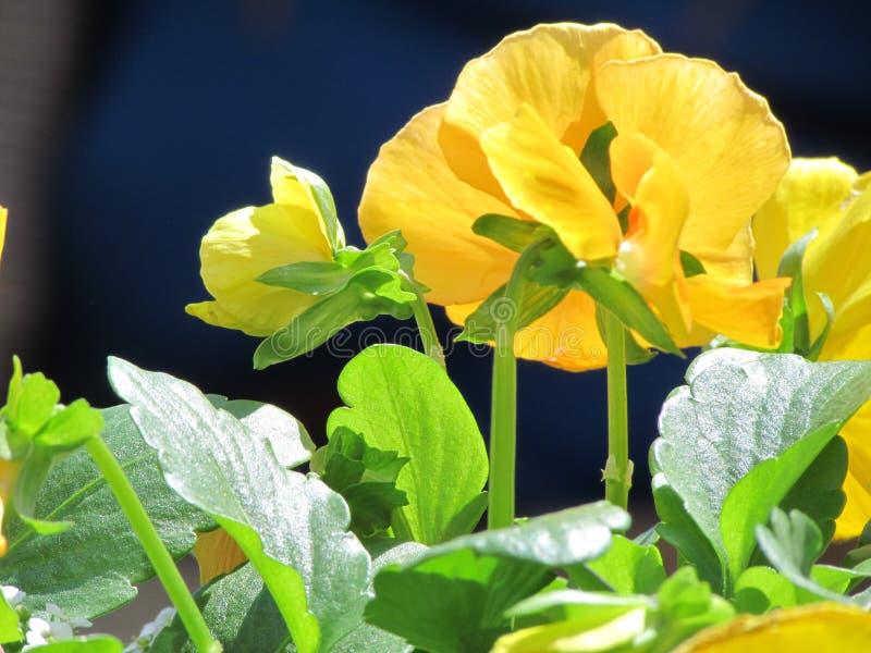 Feche acima dos Pansies amarelos fotografia de stock