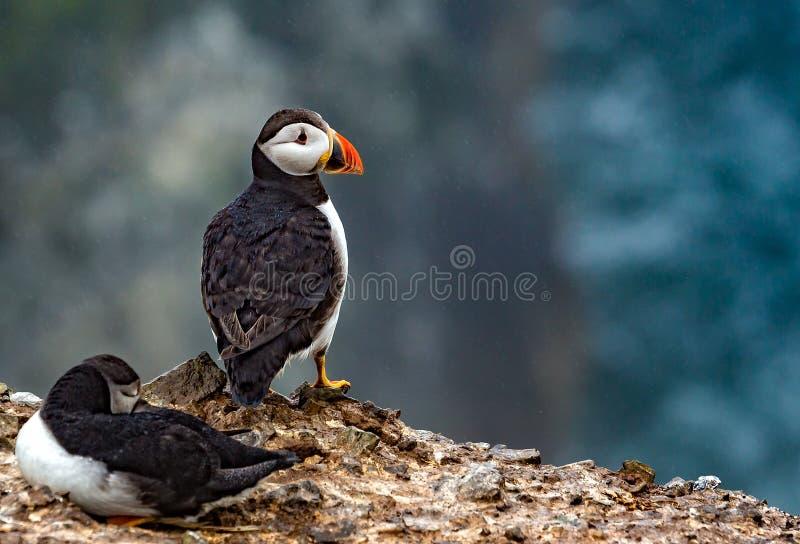 Feche acima dos pares de papagaio-do-mar imagem de stock