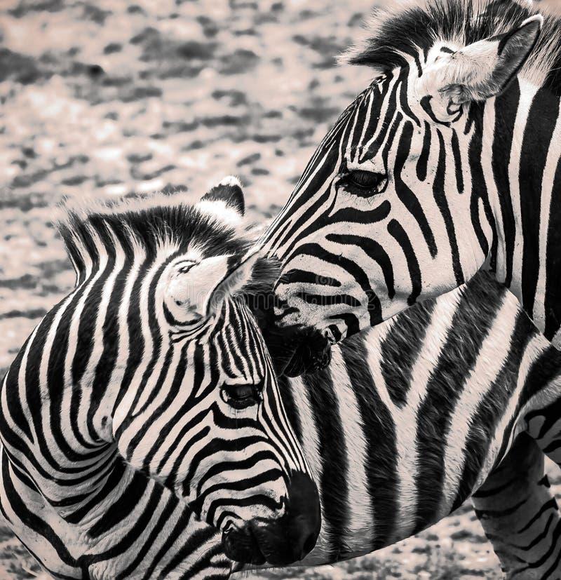 Feche acima dos pares de zebra fotos de stock royalty free
