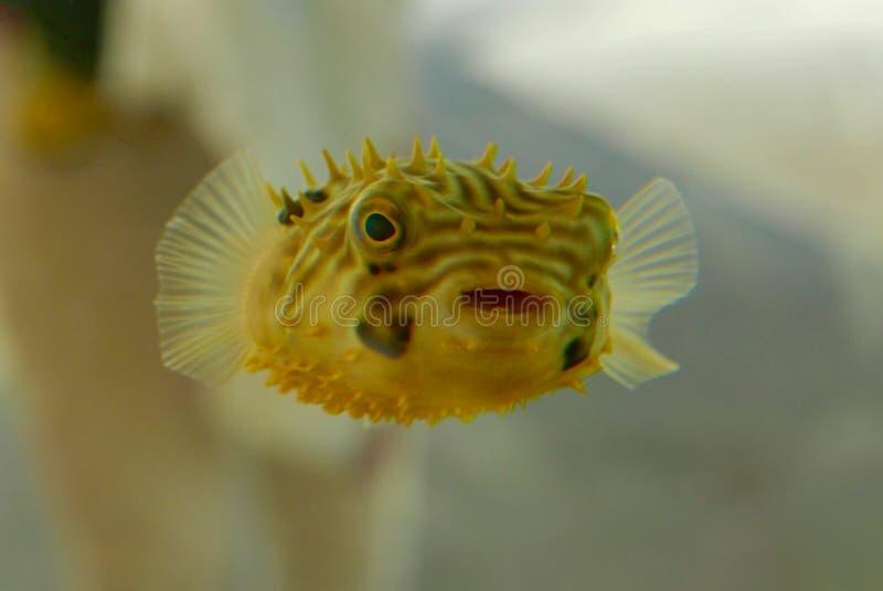 Feche acima dos peixes amarelos bonitos do soprador foto de stock
