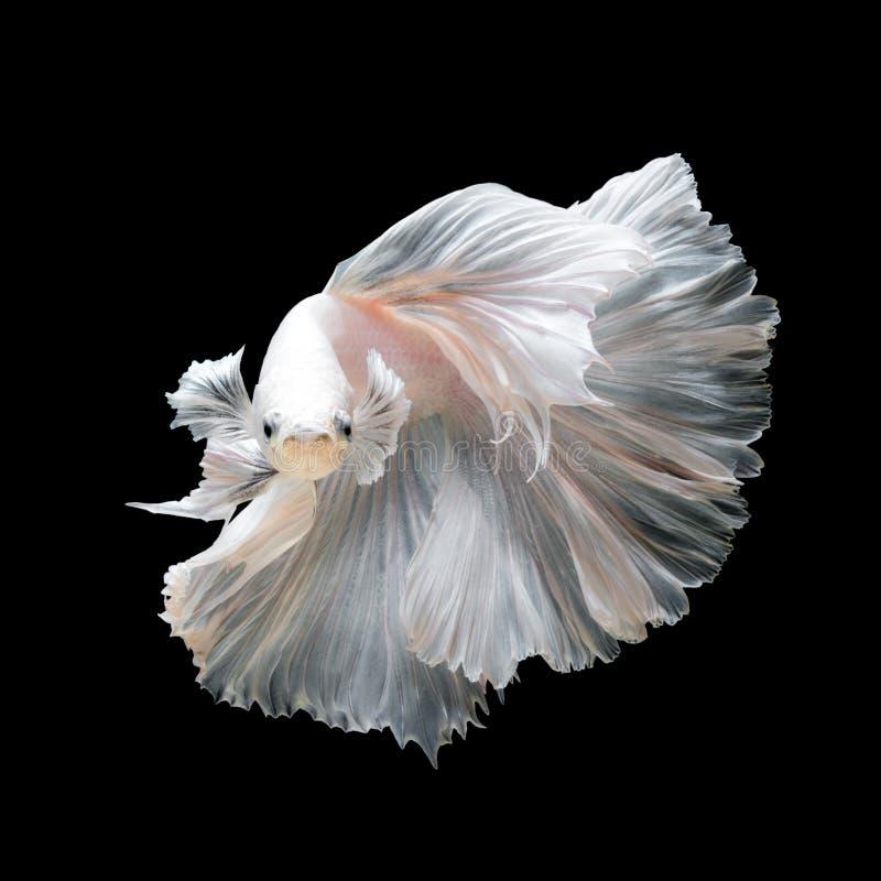 Feche acima dos peixes brancos de Betta da platina ou dos peixes de combate Siamese fotografia de stock
