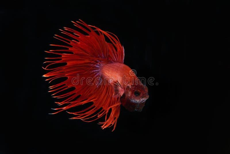 Feche acima dos peixes do betta imagens de stock royalty free
