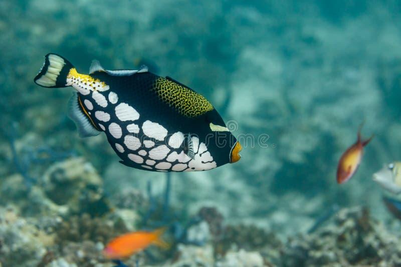 Feche acima dos peixes do conspicillum de Balistoides do triggerfish do palhaço imagens de stock royalty free