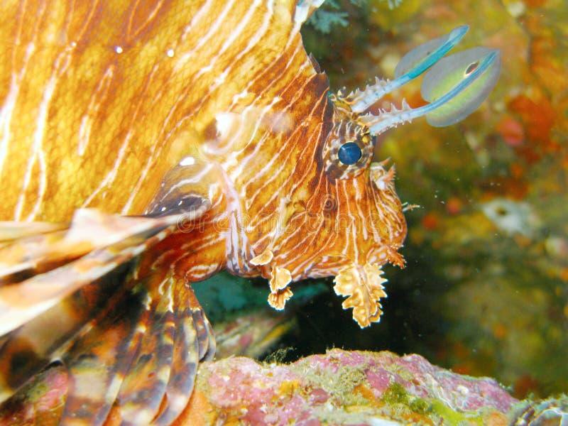 Feche acima dos peixes do leão foto de stock