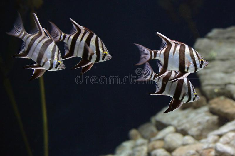 Feche acima dos peixes no aqu?rio foto de stock