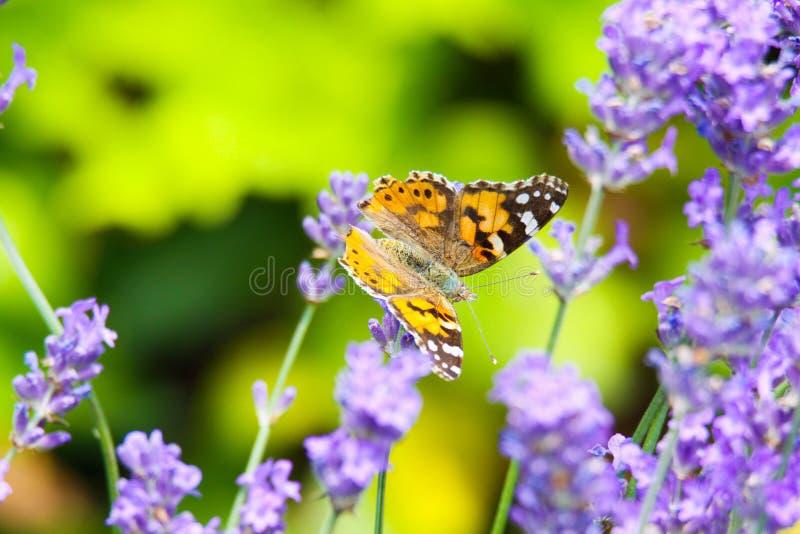 Feche acima dos polychloros alaranjados e pretos do Nymphalis da borboleta na flor lilás da alfazema com fundo verde borrado imagem de stock