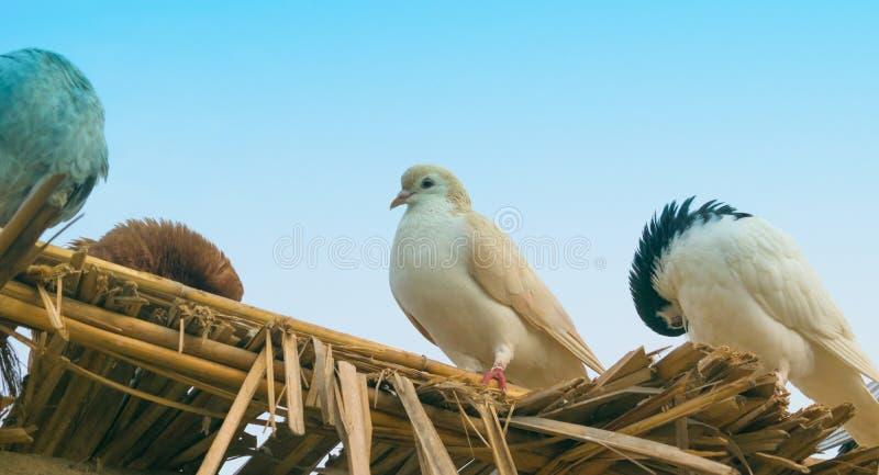 Feche acima dos pombos que sentam-se em partes de madeira fotografia de stock