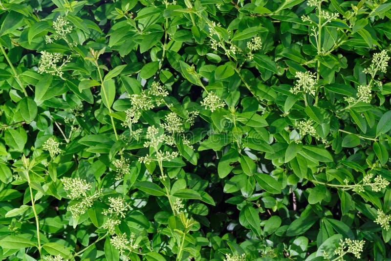 Feche acima dos ramos da conversão do alfeneiro na flor foto de stock royalty free